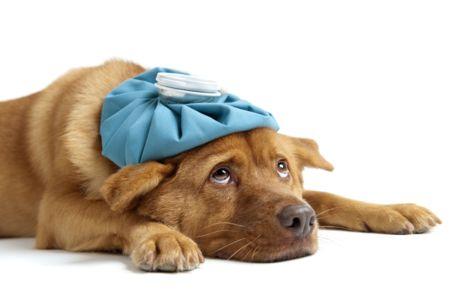 perro cirurgia rodilas